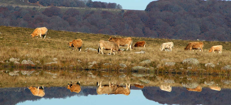 lac-vache-aubrac-lozere
